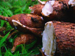 Freshly Cut Cassava Root Manihot esculenta, Euphorbiaceae Image Credit: Ikhlasul Amal