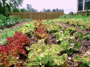 Lettuce Heads in Garden. Image Credit: Mike Hunter